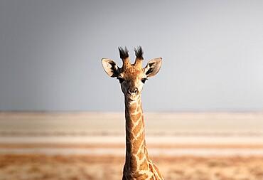Portrait of a giraffe (Giraffa camelopardalis), Namibia, Africa