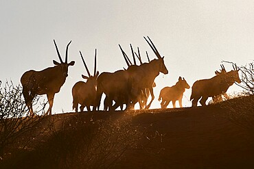 Silhouette of a pack of eland (Taurotragus oryx), Namibia, Africa