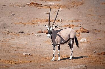 Lonely Eland in Etosha National Park, Namibia, Africa