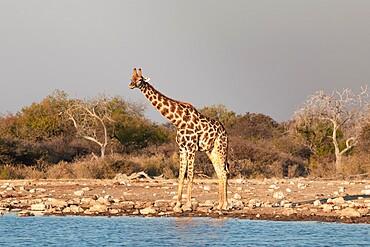 Giraffe (Giraffa camelopardalis) standing near a water pond, Etosha National Park, Namibia, Africa