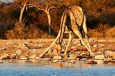 Giraffe (Giraffa camelopardalis) drinking in a pond with splayed legs , Etosha National Park, Namibia, Africa