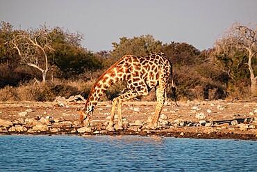 Giraffe (Giraffa camelopardalis) drinking in a pond with bent legs, Etosha National Park, Namibia, Africa