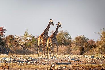 Two giraffes (Giraffa camelopardalis) near a waterhole, side view, Etosha National Park, Namibia, Africa