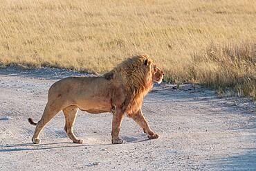 Male lion (Panthera leo) walking proud in the savannah, Etosha National Park, Namibia, Africa
