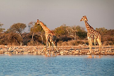 Several giraffes (Giraffa camelopardalis) drinking and standing by a pond with splayed legs, Etosha National Park, Namibia, Africa
