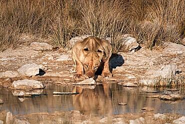 Lioness (Panthera leo) drinking at a waterhole, Etosha National Park, Namibia, Africa