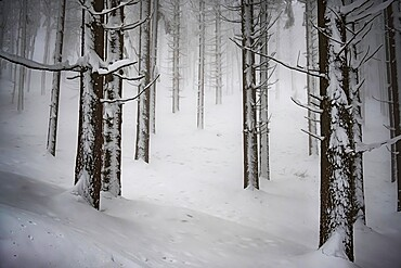 A foggy day in a wood covered by snow, Parco Regionale del Corno alle Scale, Emilia Romagna, Italy, Europe