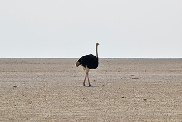 Lonely ostrich (Struthio) walking in the salt pan in the middle of Etosha, Etosha National Park, Namibia, Africa