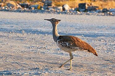 Ardeotis kori walking on the ground, Etosha National Park, Namibia, Africa