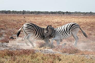 Two zebras fighting in the savannah, Etosha National Park, Namibia, Africa