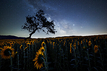 Milky Way above a sunflowers field with a bent tree silhouette, Emilia Romagna, Italy, Europe