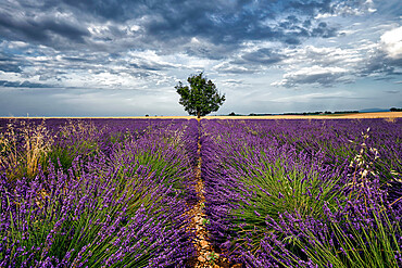 Symmetric lavender field and a lonely tree in the middle, Valensole, Provence, France, Europe