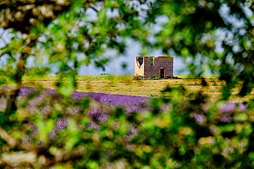 A ruin and lavender field framed by tree branches, Valensole, Provence, France, Europe
