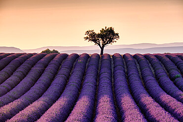 Lonely tree on top of a lavender tree at sunset, Valensole, Provence, France