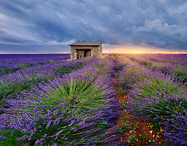 Small stone house in lavender field at sunset with a cloudy sky, Valensole, Provence, France