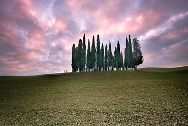 Torrenieri cypresses in val d'orcia with a pink sunrise, Val d'Orcia, Tuscany, Italy