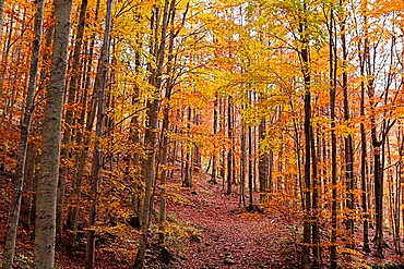 Foliage colors in a beech wood, Parco Regionale del Corno alle Scale, Emilia Romagna, Italy, Europe