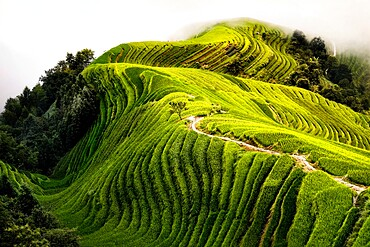 Top view of a path in the Longsheng rice terraces also known as Dragon's Backbone rice terraces, Guanxi, China, Asia