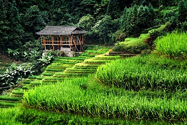 Small bamboo house in the Longsheng rice terraces, Guangxi, China, Asia
