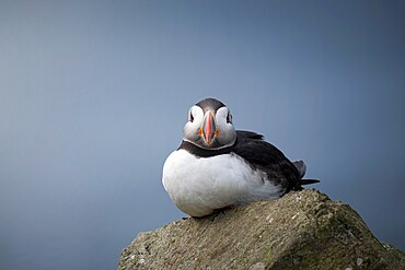 Portrait of a puffin (Fratercula arctica) on Mykines, Faroe Islands, Denmark, Europe