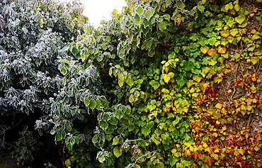 Four seasons in one image as frost forms on green vines, Galway, Connacht, Republic of Ireland, Europe