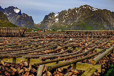 Cod fish hang drying on racks all over the village of Reine, Lofoten Islands, Nordland, Norway, Scandinavia, Europe