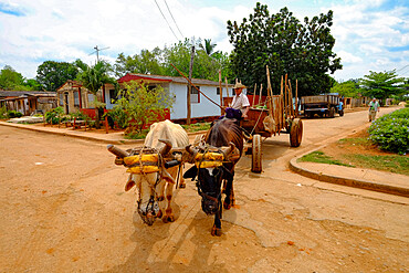 A farmer drives a carriage pulled by two animals, Australia, Cuba