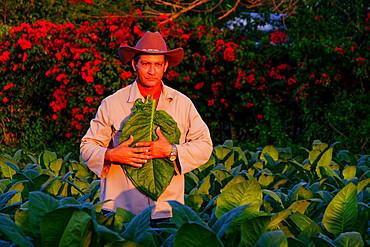 Tobacco farmer illuminated by the setting sun, Pinar del Rio, Cuba, West Indies, Central America