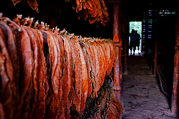 Tobacco leaves drying in a barn, Pinar del Rio, Cuba, West Indies, Central America