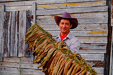 Tobacco farmer proudly displaying dried tobacco leaves, Pinar del Rio, Cuba, West Indies, Central America