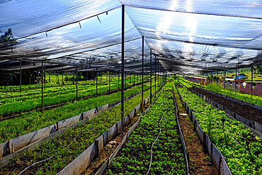 A greenhouse, Cienfuegos, Cuba, West Indies, Central America