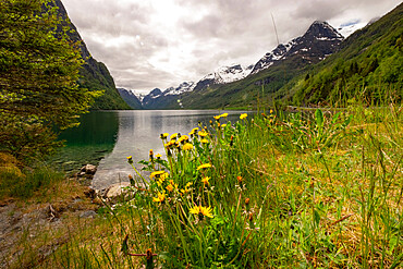 Dandelions and snow-capped mountains surround Briksdal Lake, Stryn, Vestland, Norway, Scandinavia, Europe