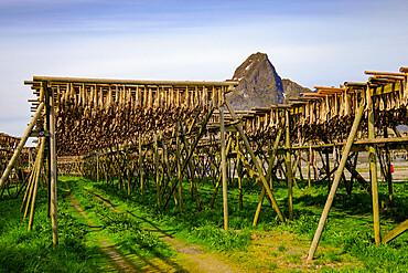 Drying cod fish hangs in the village of Reine, Lofoten Islands, Nordland, Norway, Scandinavia, Europe