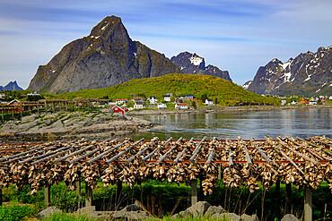 Cod (stockfish) hangs everywhere in the picturesque village of Reine, Lofoten Islands, Nordland, Norway, Scandinavia, Europe