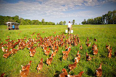 A farmer preparing to feed his flock of free range chickens at Rockland Farm near Seneca, MD USA - 1343-119