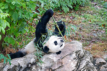 Bei Bei the Giant Panda eats bamboo in his enclosure at the Smithsonian Natioonal Zoo in Washington DC