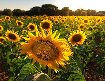 Sunflower field in Brihuega, Guadalajara, Spain, Europe