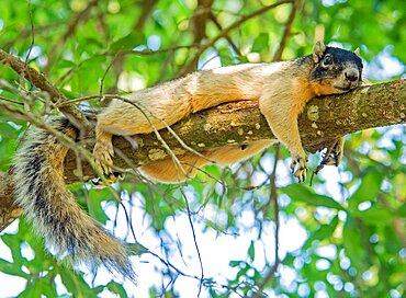 Sherman Fox Squirrel