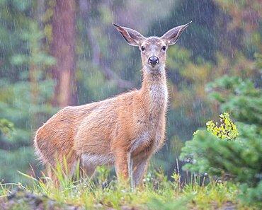 Mule Deer in Rain Storm