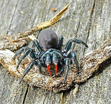 Red-legged Purse Web Spider (Sphodros rufipes)