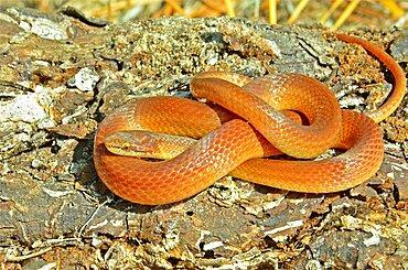 Pine Woods Snake