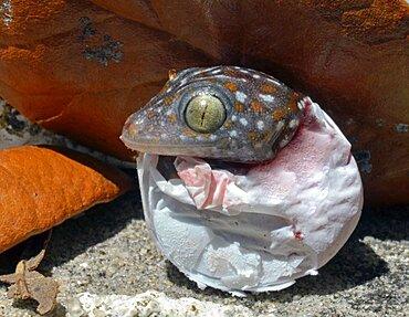 Tokay Gecko Hatching