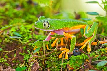 Monkey Treefrog