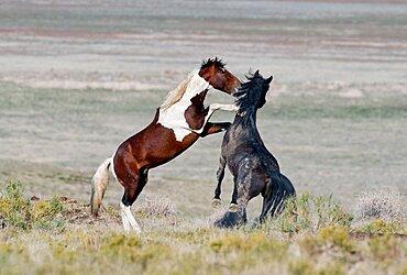 Fighting Mustangs