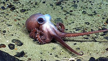 Octopus at Physalia Seamount