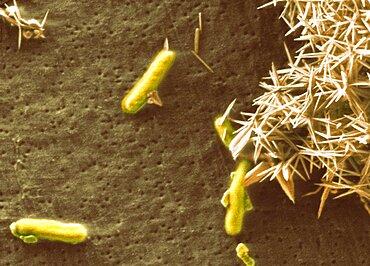 Alkali-loving extremophile bacteria, SEM