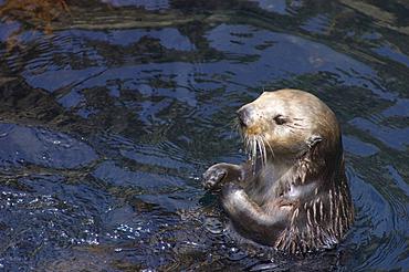 Sea Otter at Monterey Bay Aquarium; Monterey, California.