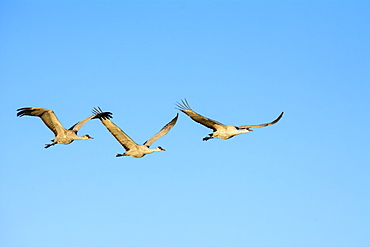 Sandhill Cranes in flight at Bosque del Apache National Wildlife Refuge, New Mexico.