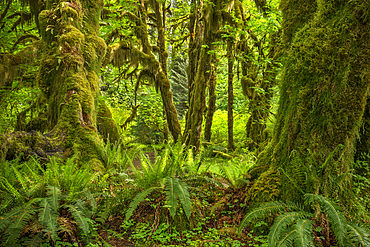 Ferns, mosses and Bigleaf maple trees, Hall of Mosses Trail, Hoh Rainforest, Olympic National Park, Washington.