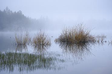 Grasses, Merganser, and morning fog on the lake at Crane Prairie Reservoir, Deschutes National Forest, Central Oregon.